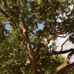 Chêne d'Anatole le Braz