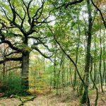 Chêne des Hindrés Crédit CRT Bretagne