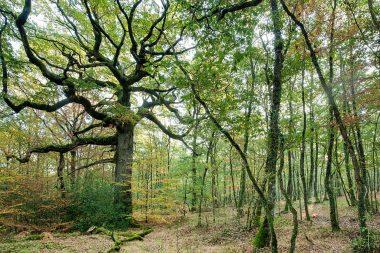 Chêne des Hindrés