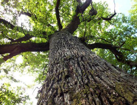 chêne des Hindrés arbre remarquable