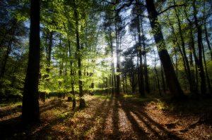 Forêt de pins et de feuillus