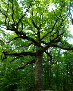 site du chêne des Hindrés Brocéliande