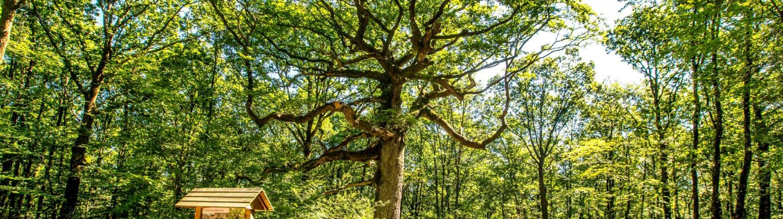 chêne des Hindrés Brocéliande