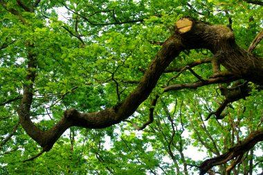 The Oak of the Hindrés