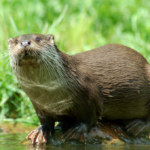 Loutre d'Europe. crédits : BY SA dbhack88 - Wikipedia