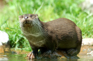Loutre - CC BY SA dbhack88 Wikipedia