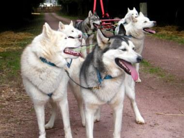 ferme nordique Paimpont huskies