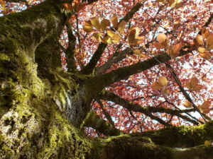 chêne en Brocéliande Benjamin Chorin