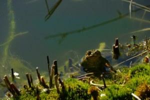 eau, faune, grenouille