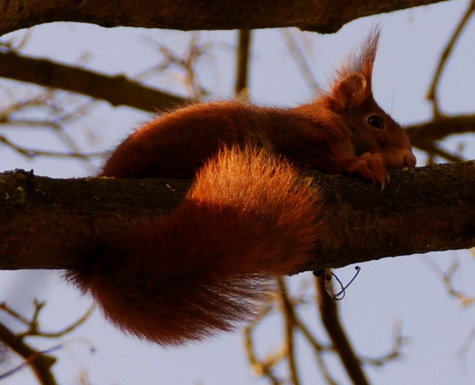 écureuil roux, photo yandra naturaliste