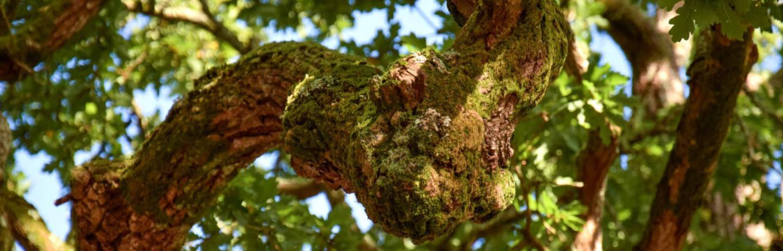 chêne Anatole le Braz, Forges de Paimpont