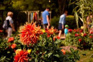 Dahlias, Jardins de Brocéliande