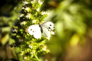 papillon, flore